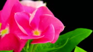 Blooming pink flower - Catharanthus rosedus video