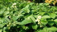 Blooming potato plants in the garden VIDEO video