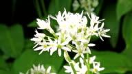 Blooming Ramson video