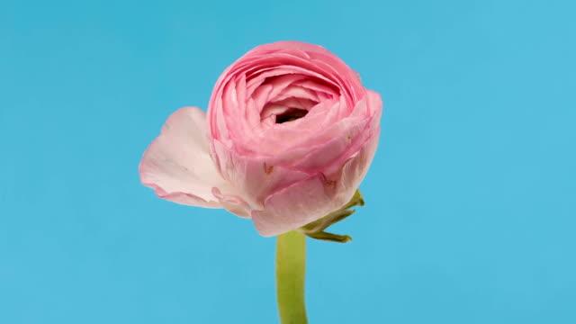 Blooming Ranunculus video