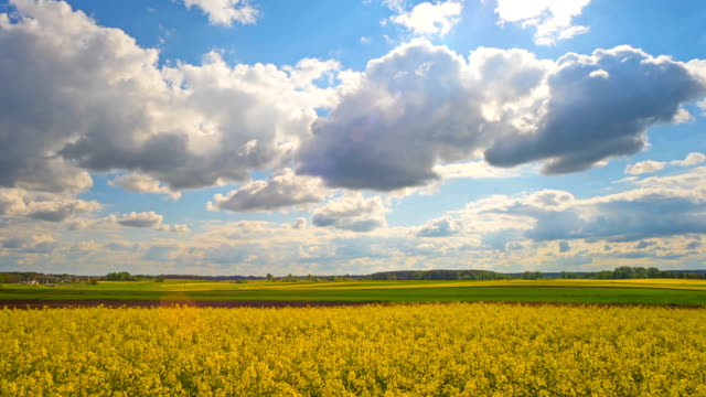 Blooming rapeseed field, panoramic time-lapse video