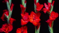 Blooming Red Gladiolus 4K video