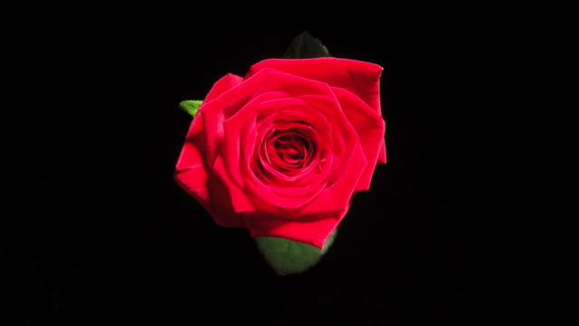 HD TIME-LAPSE: Blooming Red Rose video