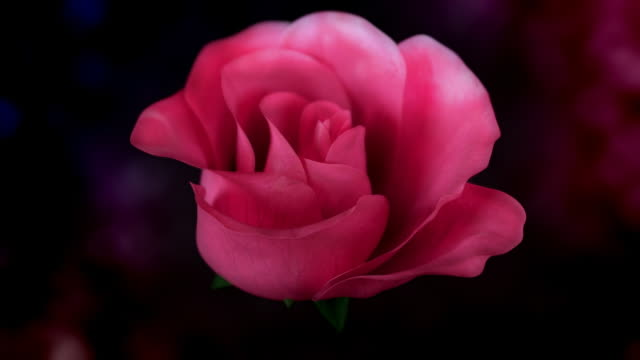 Blooming Red Rose with Alpha Channel video