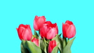 Blooming red tulips video