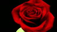 Blooming rose HD video