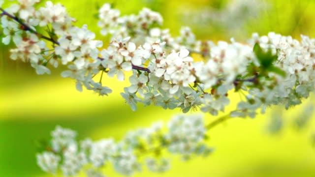 Blooming sakura video