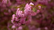Blooming tree in spring with pink flowers video