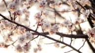 Blooming tree on sunset. White flowers on a tree in the spring park. Spring garden video
