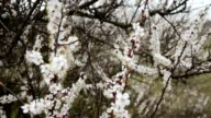 Blooming tree. White flowers on a tree in the spring park. Spring garden video