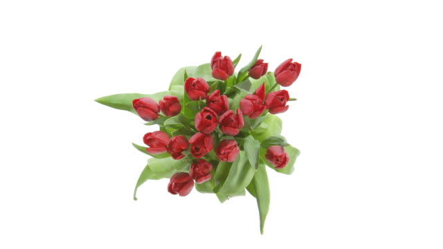HD TIMELAPSE: Blooming Tulips video