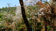blooming white flower of orchid tree or camel's foot Tree during february of every year at orchid tree field which is the travelling attraction. video