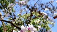 blooming white flower of orchid tree or camel's foot Tree video