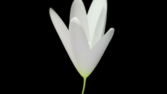 Blooming White Lily Time Lapse Close-Up Version video