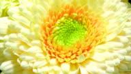 Blooming yellow Gerbera flower video
