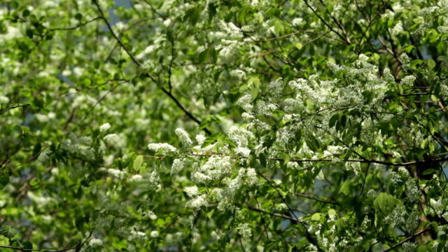 Blossom bird cherry trees wind swaying spring video