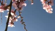Blossom Branch HD video