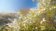 Blossom  caucasian plum tree by spring. Slow motion, Wide angle low point of view video