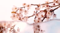 Blossom in reflection video