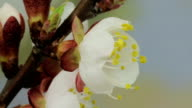 blossom of spring flower video