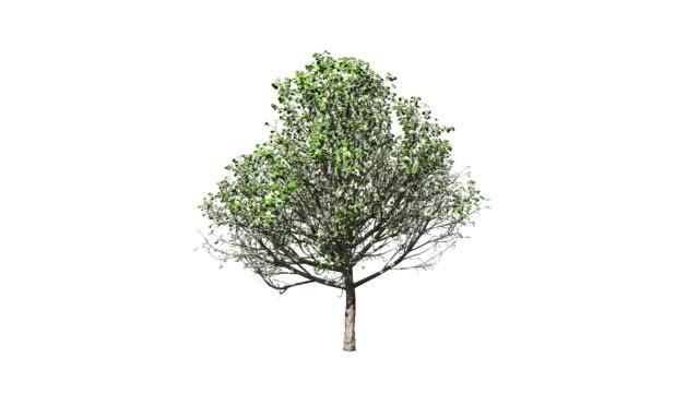 Blossom Tree Growing, Luma Matte attached video