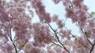 HD: Blossom Tree video