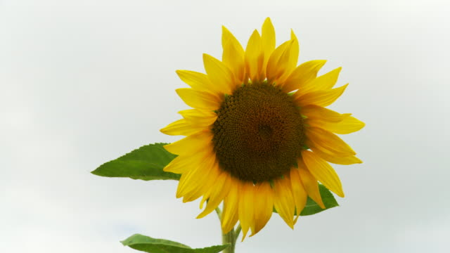 HD: Blossomed Sunflower video