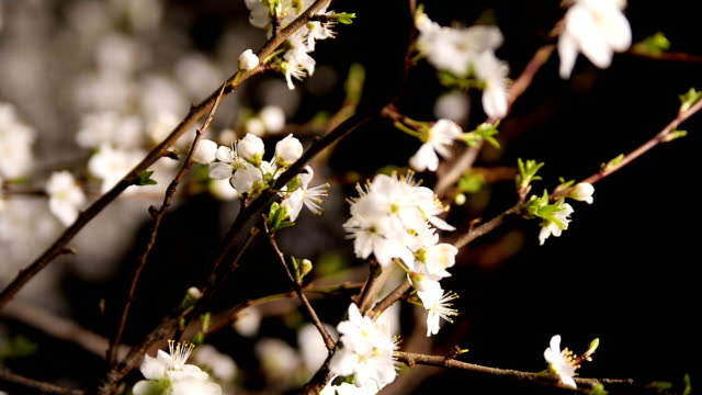 Blossomed tree video