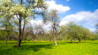 Blossoming apple orchard, panoramic time-lapse video