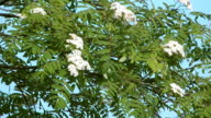 Blossoming ashberry. video