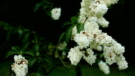 Blossoming branch of a white lilac moved by wind with copy space close-up video