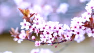 Blossoming branch with with flowers of Prunus cerasifera video