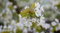 Blossoming bunch of white cherry tree flowers video