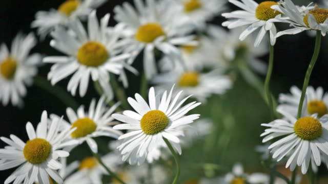 Blossoming camomiles video