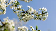 Blossoming cherry against the blue sky. video