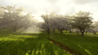Blossoming cherry orchard in the sunlight. Time lapse. video