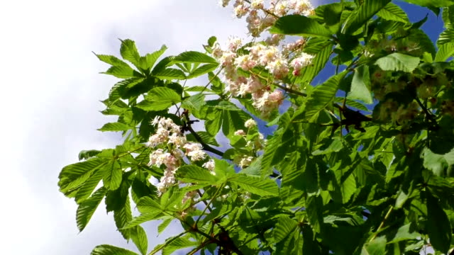 Blossoming chestnut tree in spring video