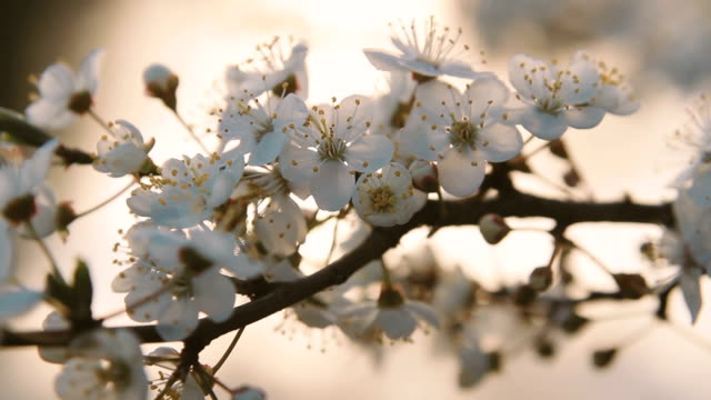A blossoming fruit tree at sunset. Close-up video