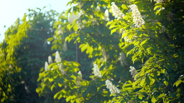 Blossoming horse chestnut tree video