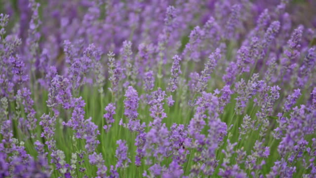 Blossoming lavender video
