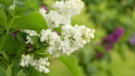 Blossoming Lilac Branches video