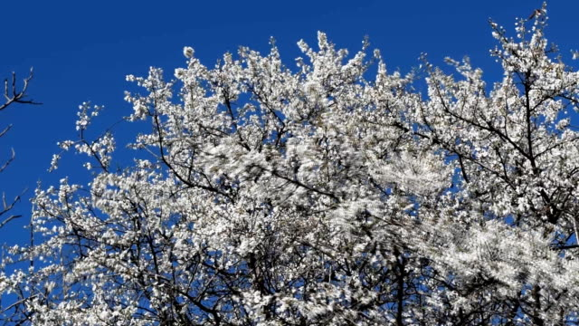 Blossoming of a cherry plum video