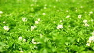 Blossoming Potato Field Close-up video