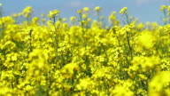 Blossoming Rapeseed Field Close-up (4K/UHD to HD) video