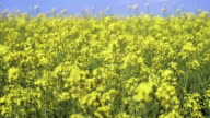 Blossoming Rapeseed Field Close-up (4K/UHD) video