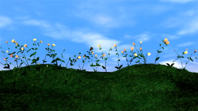 Blossoming roses on green meadow,time lapse video