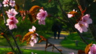Blossoming sakura in japanese garden video