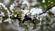 Blossoming tree in spring, changing focus video
