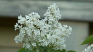 Blossoming white lilac. video