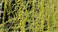 Blossoming willow catkin video